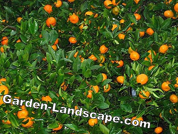 Tangerine trees - care, diseases, cutting