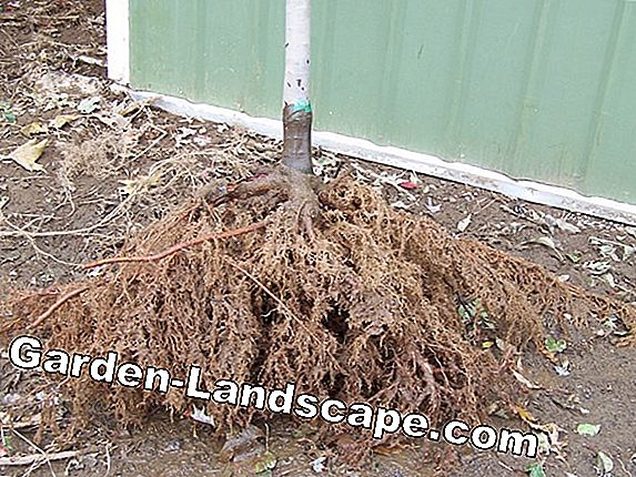 Maple tree - plants, transplanting and cutting
