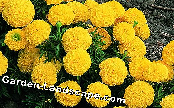 Marigold - sowing and care