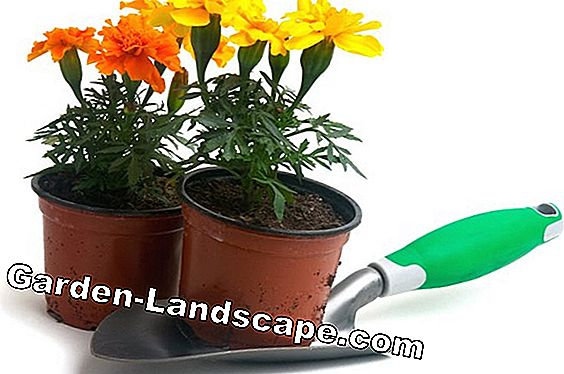 Marigold, Tagetes - varieties, sowing and care
