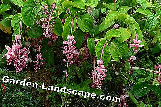 Medinilla magnifica - planting and care