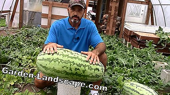 Grow melons in the greenhouse