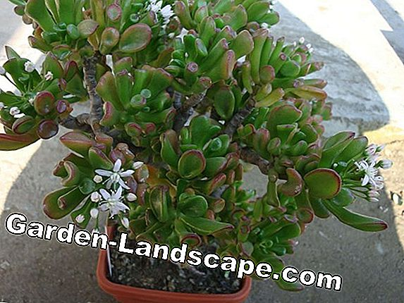 Money tree, Crassula ovata / argentea - care of the penny-tree