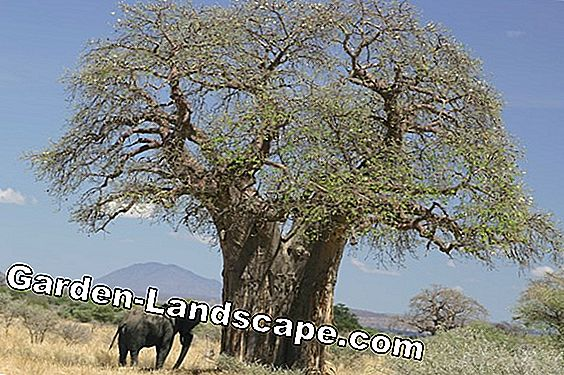 Baobab tree as a houseplant - cultivation and care
