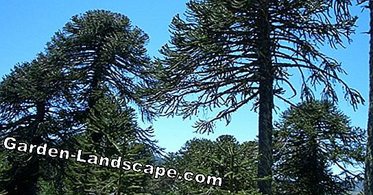 Monkey Tail Tree, Araucaria - Plants, Care and Propagation