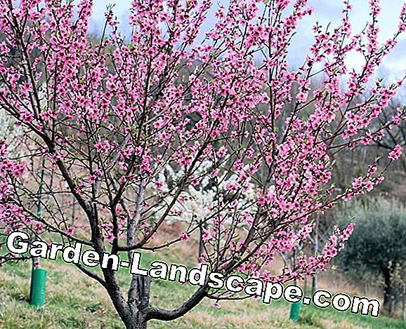 Nectarine cut - cut of nectarine tree