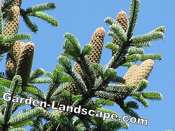 Nordmann fir, Abies nordmanniana - care in the garden / pot