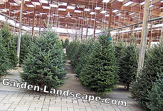 Nordmann fir: growth per year, care and cutting