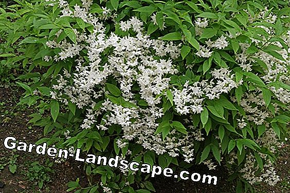 Deutzie, Deutzia - list of varieties, care and information on toxicity