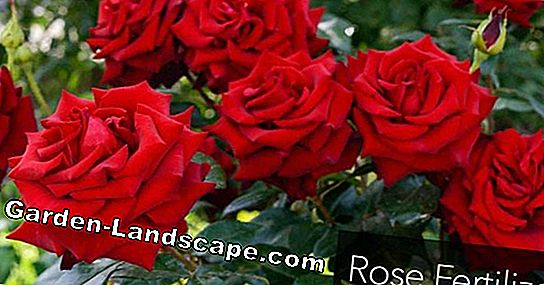 Potassium fertilizer for roses: sensible or not?