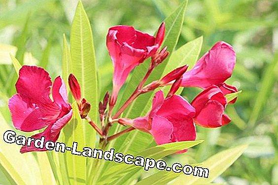 Oleander tips: care, cutting and wintering