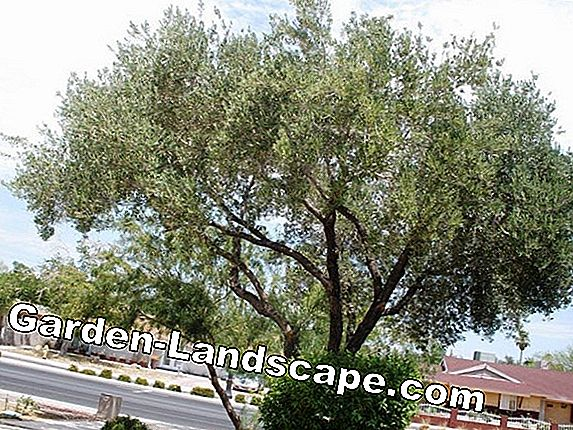 Olive tree loses leaves - causes of yellow leaves + the solution