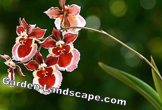 Oncidium Orchid - Species & Care