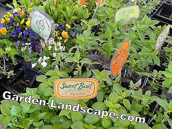 Annual and biennial herbs - 10 popular varieties