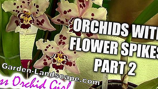 Orchid is not blooming - causes & tips