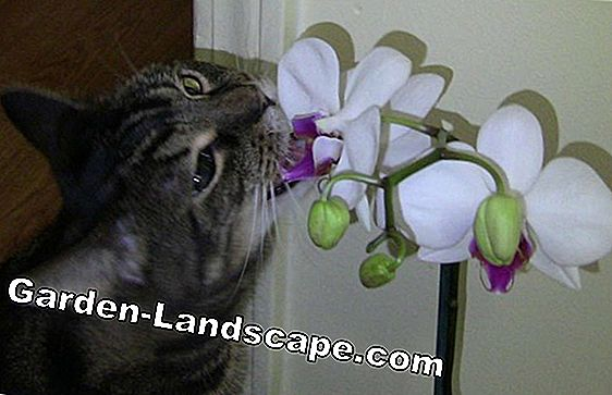 Are orchids and their flowers toxic to cats?