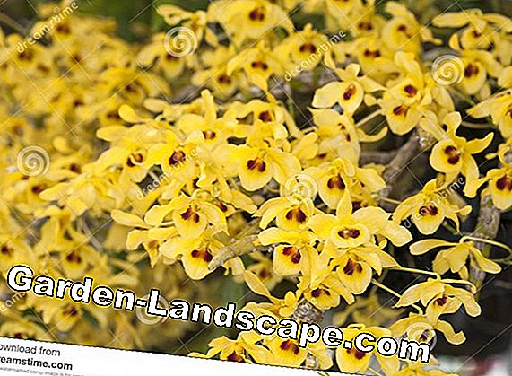 Orchid species from A to Z - 11 orchid varieties presented