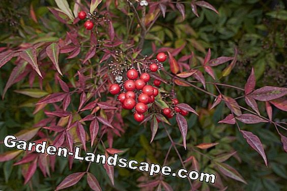 Ornamental shrubs - care and cutting