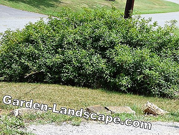Ornamental shrubs + ornamental shrubs - care, cut