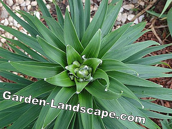 Palme Lily, Garden Yucca Filamentosa - Care and Cutting