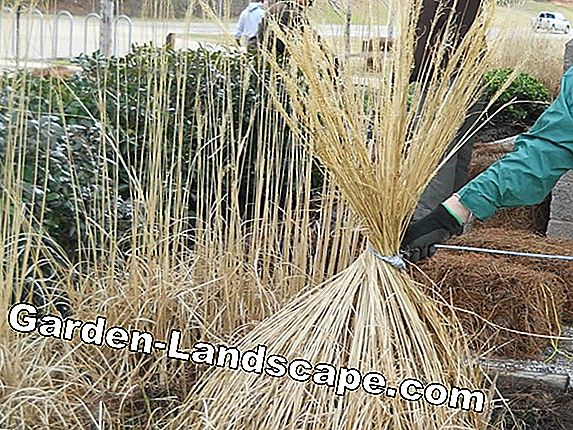 Pampas grass - care, cut, cutting