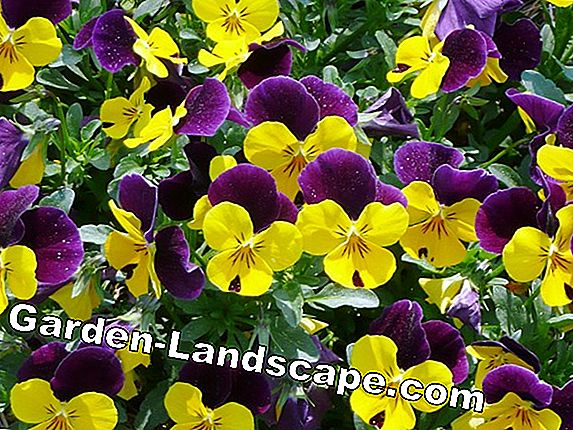 Pansy - sowing and care