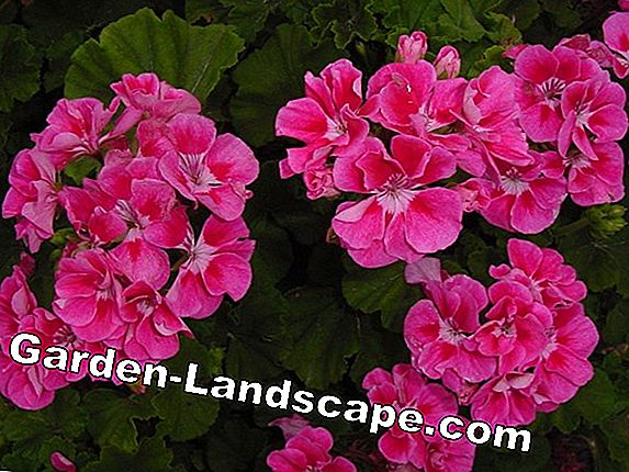 Pelargonium - popular varieties, care and tips for wintering