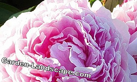 Plant peonies properly