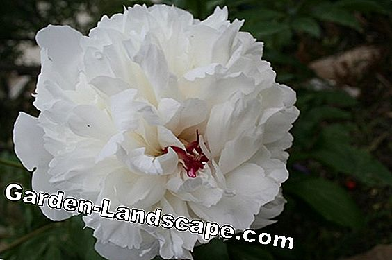 Peony - care, propagation and cutting