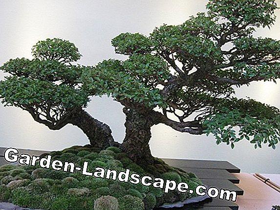Plants Pepper Tree Care As Bonsai 2021