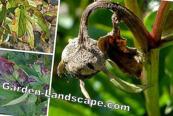 Pests on roses - diseases