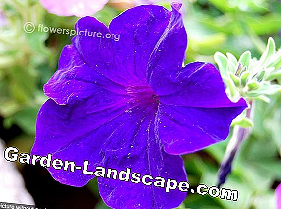 Petunia Surfinia: Surfinia varieties, location and care