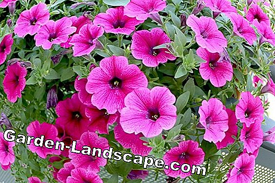 Petunias pull - location, care and diseases