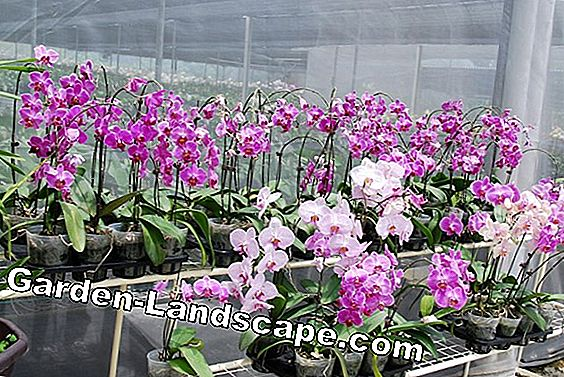 Phalaenopsis orchids - species and care in the apartment