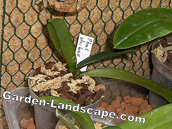 Repotting Phalaenopsis - Information on Substrate, Time & Co