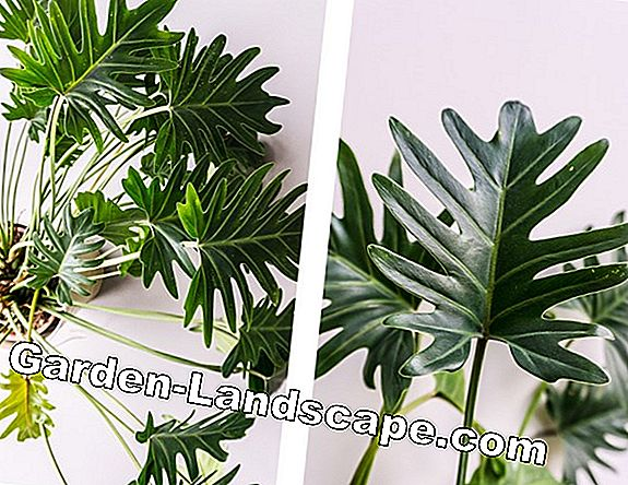 Philodendron xanadu - care and propagation