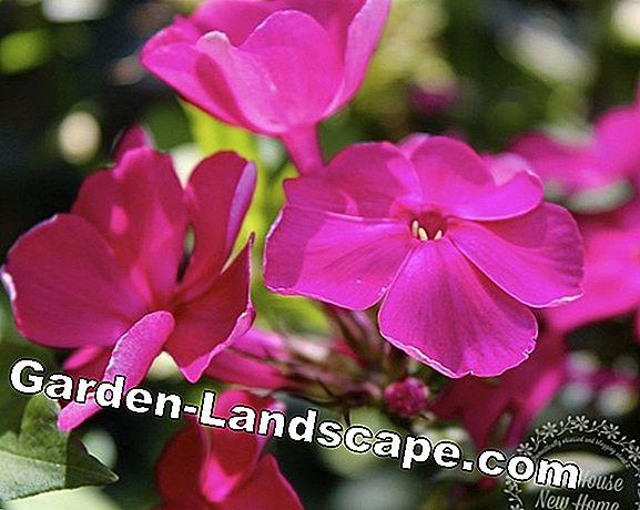 Phlox: The best tips against mildew