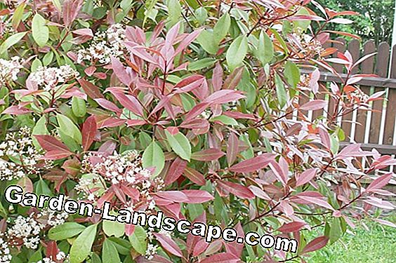 Photinia fraseri 'Red Robin' - care and cutting