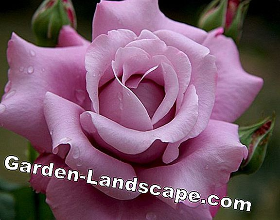 Plant Ideas: highly fragrant rose varieties and perennials