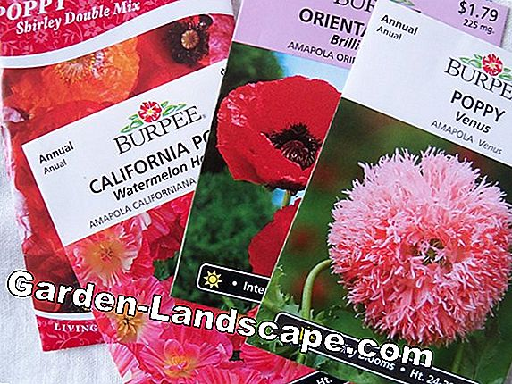 Poppies, poppies - sowing and care