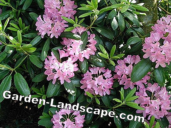 Popular azaleas and rhododendrons - care, species