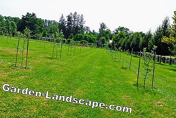 Popular fruit trees - old apple varieties