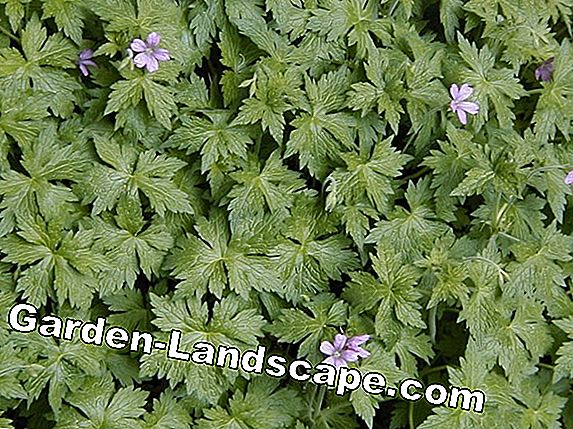 Popular shade perennials - hardy and flowering species