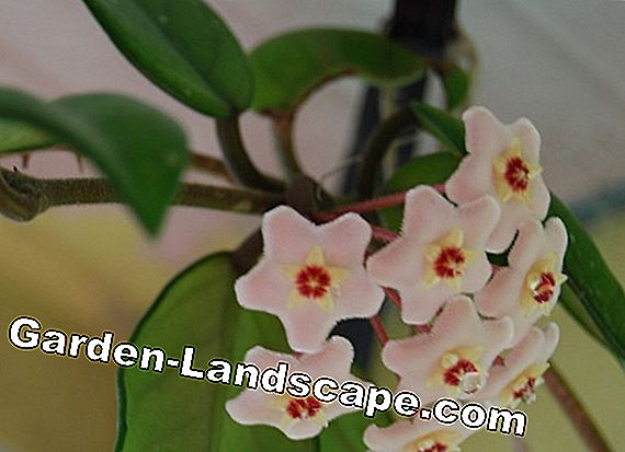 Porcelain flower - wax flower, Hoya - care