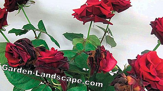 Fight mildew on roses