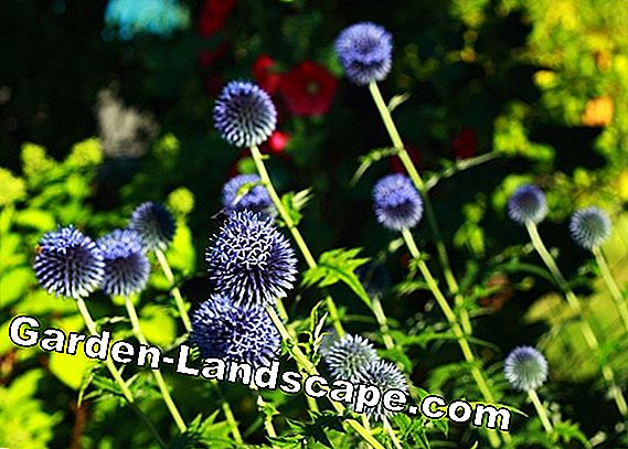 Edeldistel, man litter - sowing and care