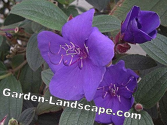 Princess flower - care of Tibouchina urvilleana