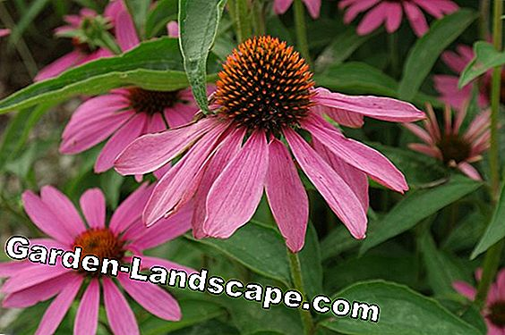Red Coneflower, Echinacea purpurea - Sowing & Care