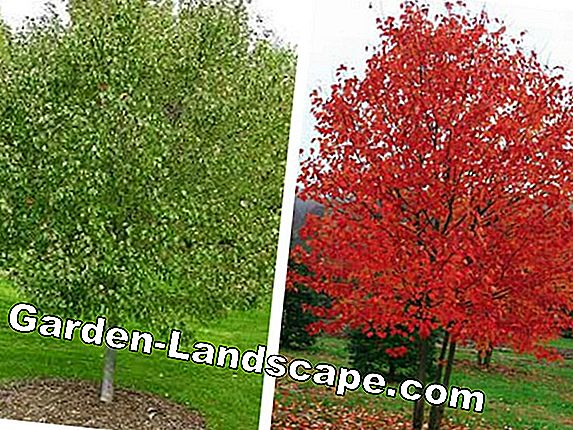 Red maple, Acer rubrum - care and cutting