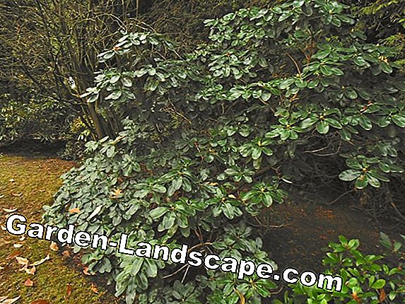 Rhododendron grows, but does not bloom - that's how they help it